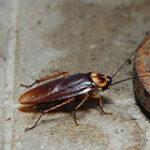 American Cockroach - Best Pest Control Lafeyette
