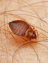 Exterminator for Bed Bugs