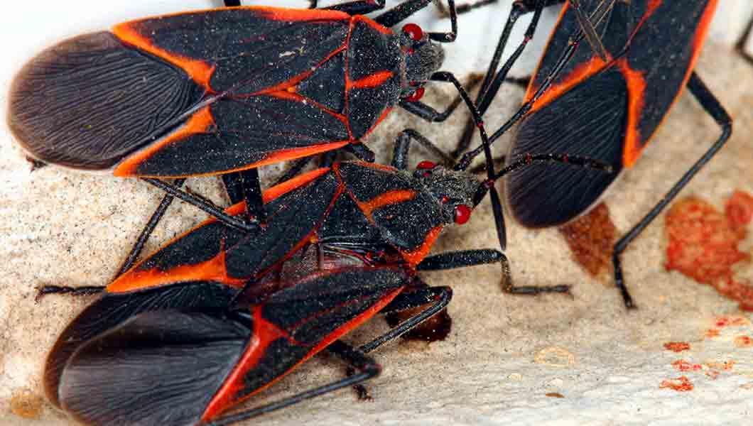 NOCO- Pest and-Wildlife Control Boxelder Bugs