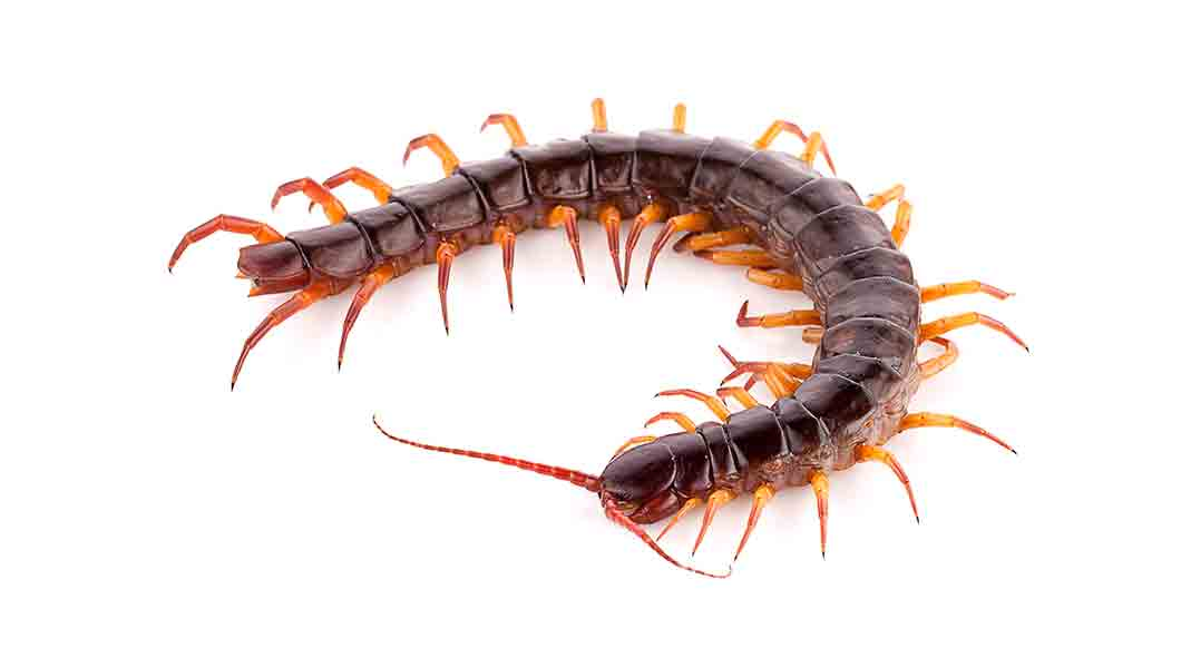 NOCO Pest and Wildlife Control centipedes
