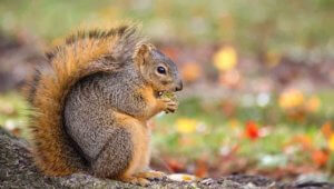 NOCO Pest and Wildlife Control Squirrel