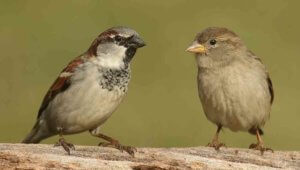 sparrows - birds pf Colorado