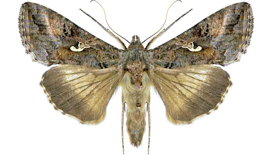 NOCO Pest and Wildlife Control miller moth