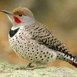 Northern Flickers Causing Damage