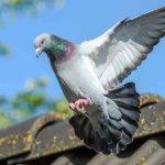 pigeon humane animal removal denver