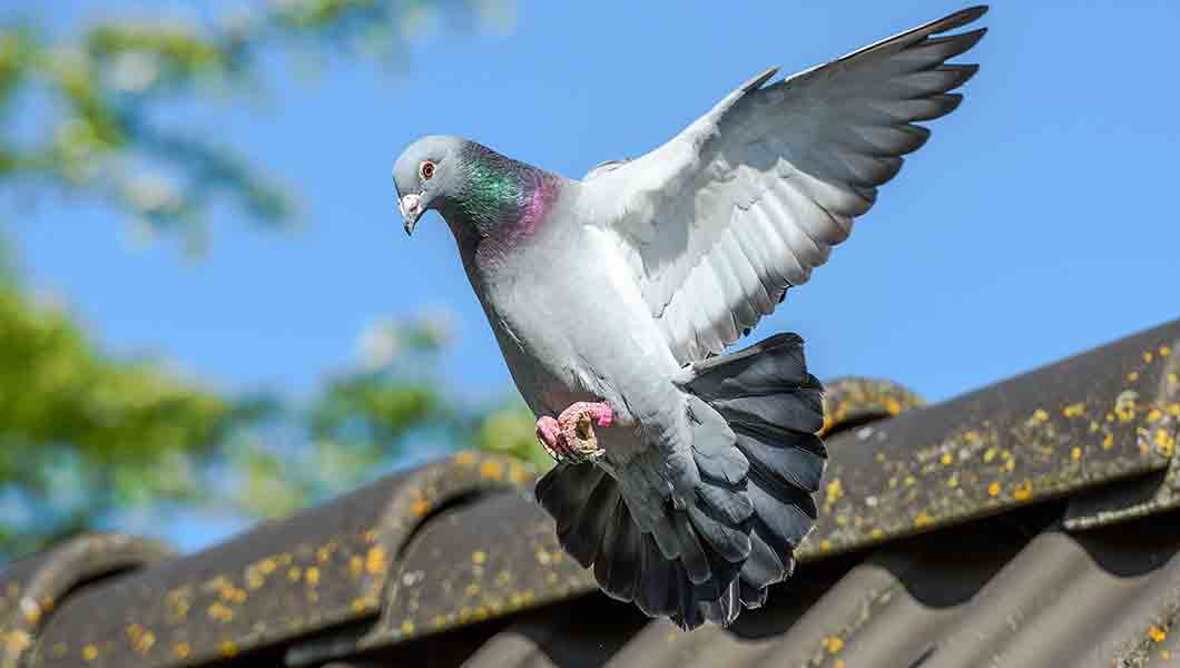 pigeon humane animal removal denver