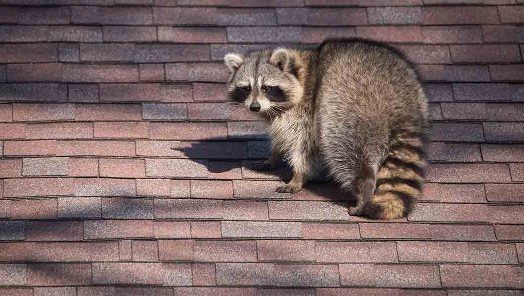 How to Get Raccoons Out of an Attic