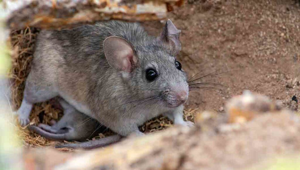 Rodent Removal Denver - Northern Colorado Pest and Wildlife Removal