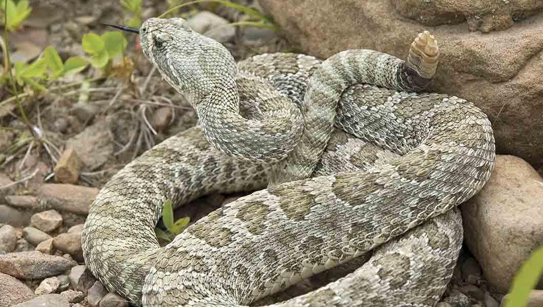 NOCO Pest and Wildlife Control snake