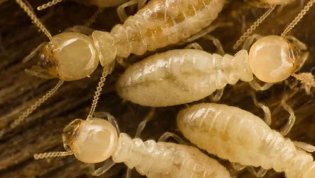 NOCO Pest and Wildlife Control termite