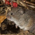 Snow Melt Uncovers Vole Damage