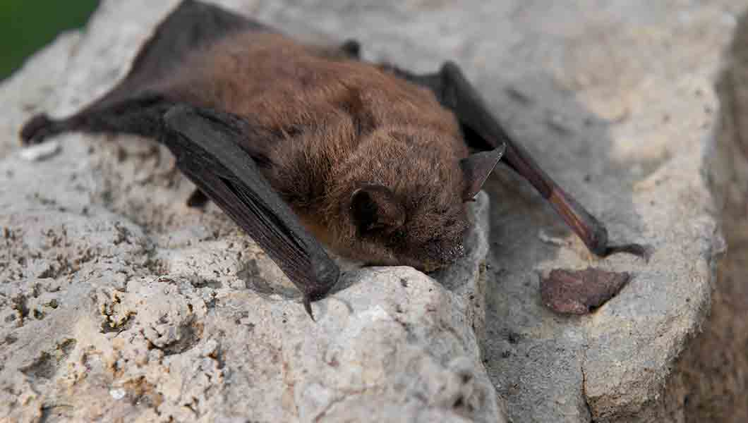 Noco-pest-and-wildlife-control-Little-Brown-Bat