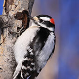 Image of Downy Woodpecker