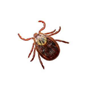 tick - Northern Colorado Pest and wildlife control