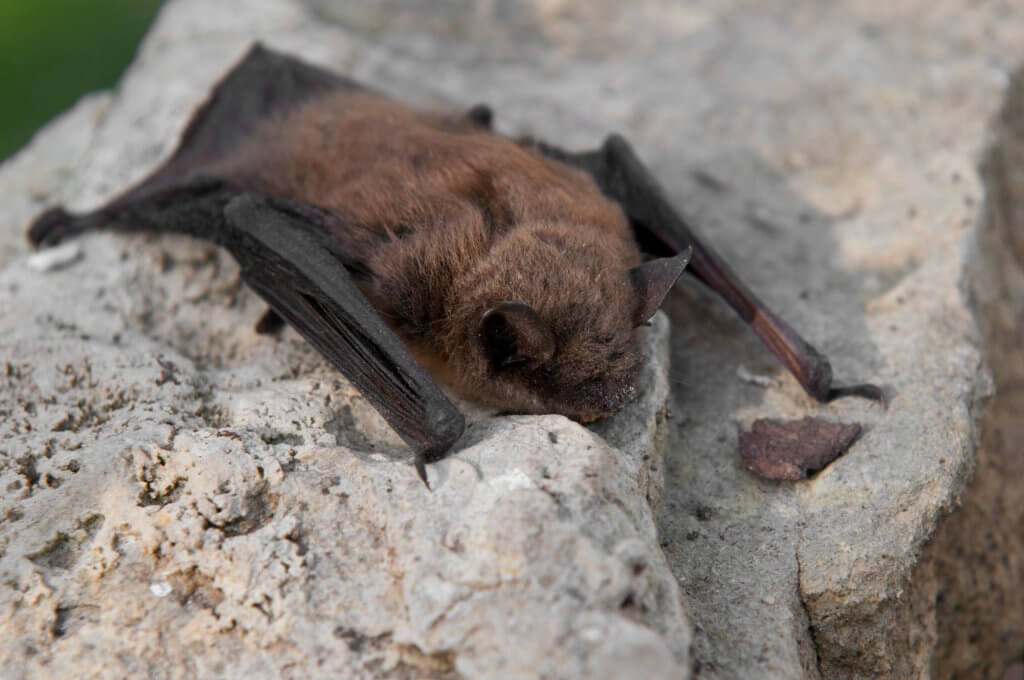 Bats Moving Back into Colorado