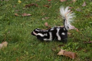 Spotted Skunk - call us - Northern Colorado Pest and Wildlife Control