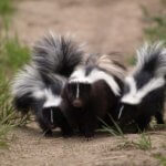 How much does it cost to remove a skunk?