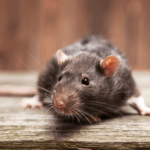 How Does An Exterminator Get Rid of Mice?