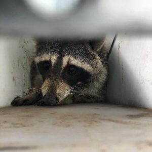 raccoon NoCo Pest and Wildlife Control