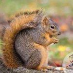 squirrel NoCo Pest and Wildlife Control