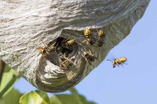 wasp nest NoCO Pest and Wildlife Control