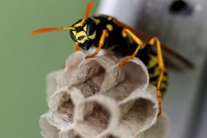 wasps NOCO Pest and Wildlife Control